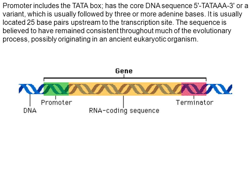 Promoter includes the TATA box; has the core DNA sequence 5 -TATAAA-3 or a variant, which is usually followed by three or more adenine bases.
