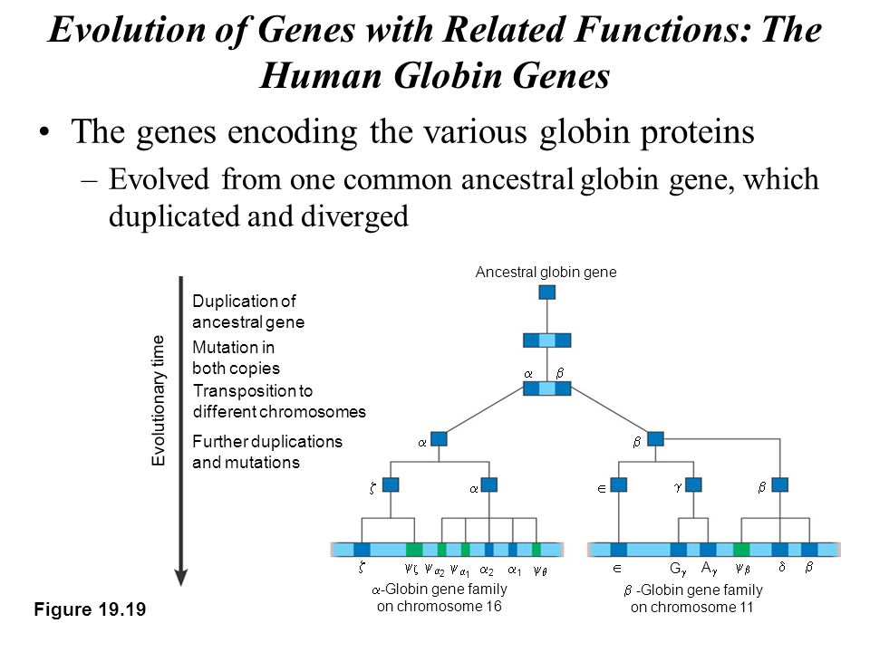 Evolution of Genes with Related Functions: The Human Globin Genes The genes encoding the various globin proteins –Evolved from one common ancestral globin gene, which duplicated and diverged Figure 19.19 Ancestral globin gene          22  11 22 11   GG AA    -Globin gene family on chromosome 16  -Globin gene family on chromosome 11   Evolutionary time Duplication of ancestral gene Mutation in both copies Transposition to different chromosomes Further duplications and mutations