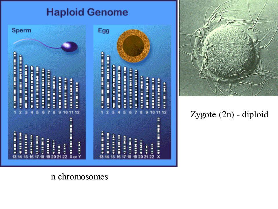 Zygote (2n) - diploid n chromosomes
