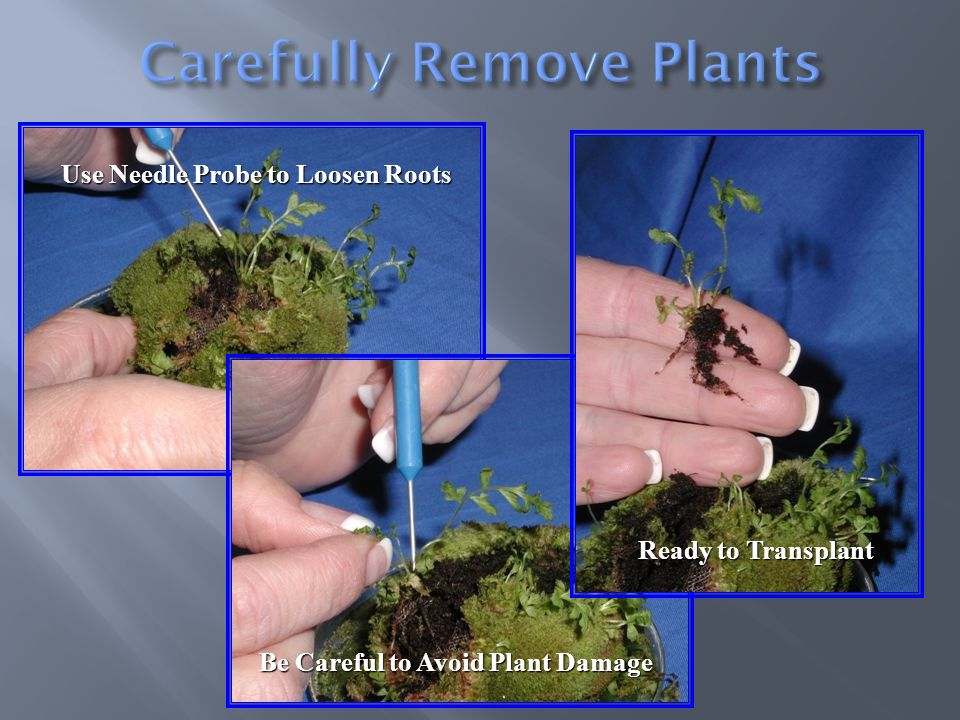 Use Needle Probe to Loosen Roots Be Careful to Avoid Plant Damage Ready to Transplant