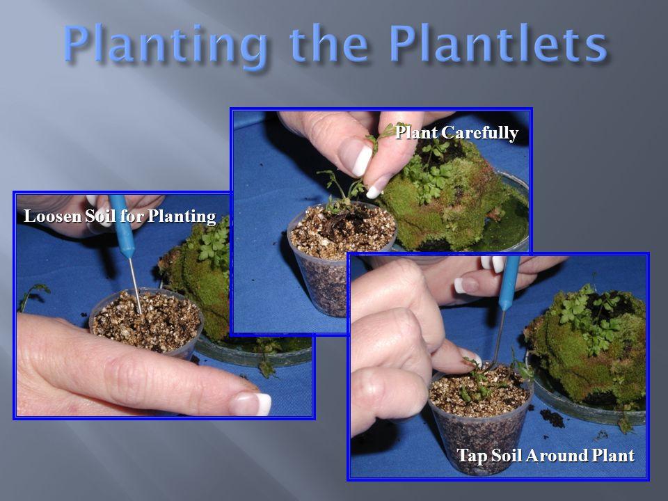 Loosen Soil for Planting Plant Carefully Tap Soil Around Plant