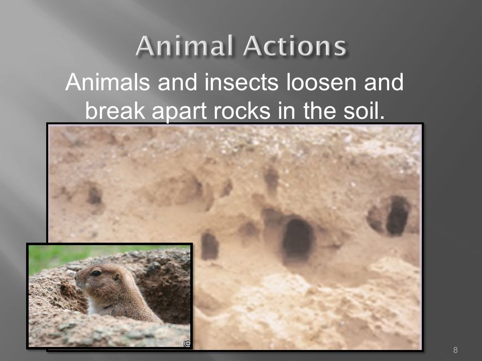 Animals and insects loosen and break apart rocks in the soil. 8