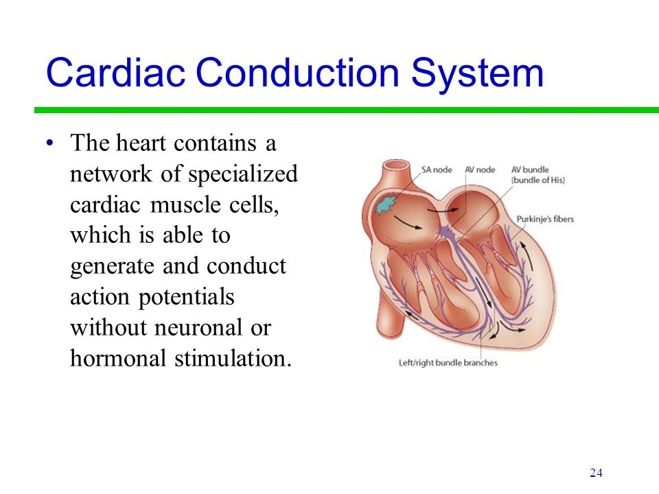 Cardiac Conduction System The heart contains a network of specialized cardiac muscle cells, which is able to generate and conduct action potentials wi