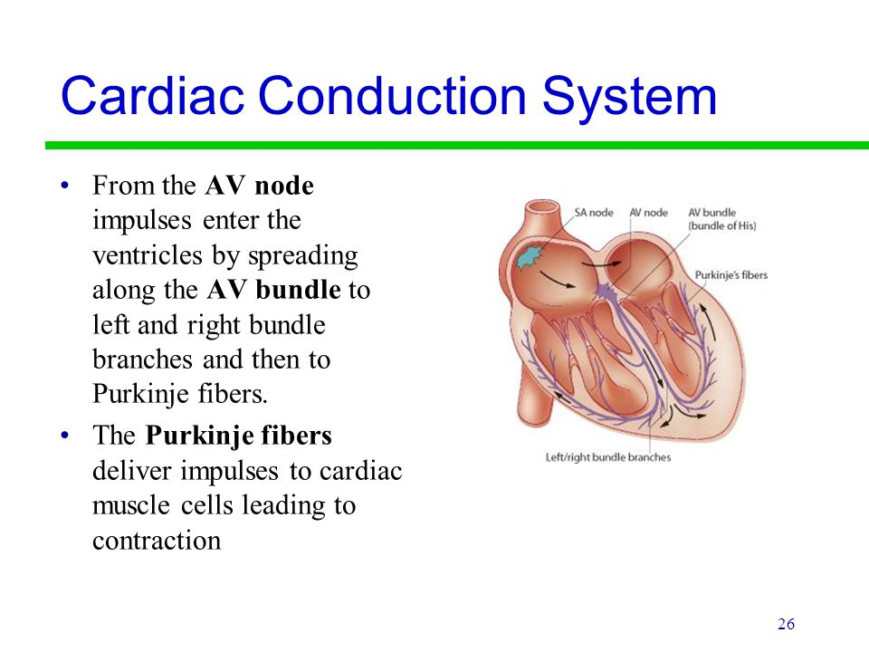 Cardiac Conduction System From the AV node impulses enter the ventricles by spreading along the AV bundle to left and right bundle branches and then t