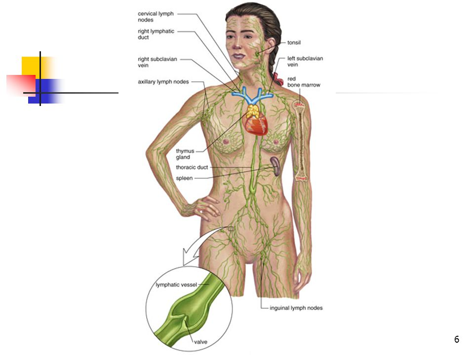 Lymph Nodes with Valves 17
