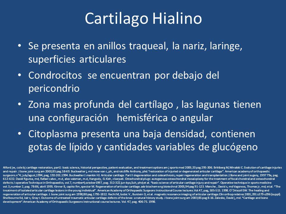 Cartilago Hialino Se presenta en anillos traqueal, la nariz, laringe, superficies articulares Condrocitos se encuentran por debajo del pericondrio Zona mas profunda del cartílago, las lagunas tienen una configuración hemisférica o angular Citoplasma presenta una baja densidad, contienen gotas de lípido y cantidades variables de glucógeno Alford jw, cole bj cartilage restoration, part1: basic science, historial perspective, patient evaluation, and treatment options am j sports med 2005;33 pag 295-306.