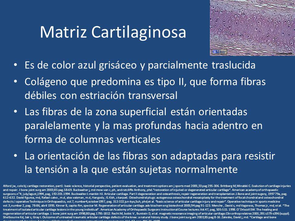 Matriz Cartilaginosa Es de color azul grisáceo y parcialmente traslucida Colágeno que predomina es tipo II, que forma fibras débiles con estriación transversal Las fibras de la zona superficial están orientadas paralelamente y la mas profundas hacia adentro en forma de columnas verticales La orientación de las fibras son adaptadas para resistir la tensión a la que están sujetas normalmente Alford jw, cole bj cartilage restoration, part1: basic science, historial perspective, patient evaluation, and treatment options am j sports med 2005;33 pag 295-306.