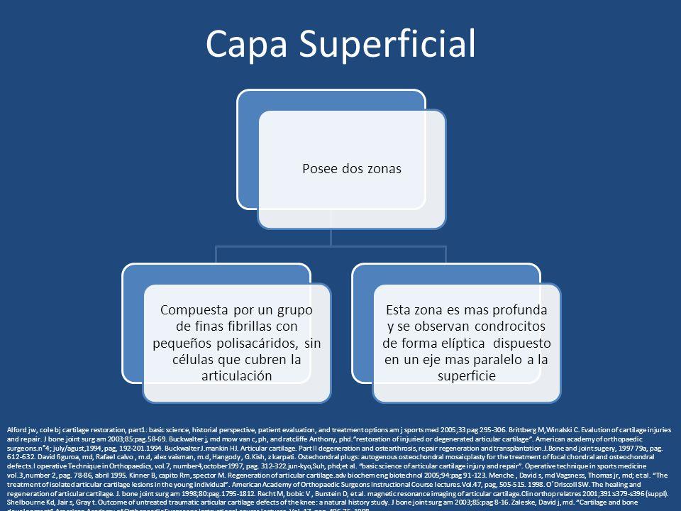 Capa Superficial Posee dos zonas Compuesta por un grupo de finas fibrillas con pequeños polisacáridos, sin células que cubren la articulación Esta zon