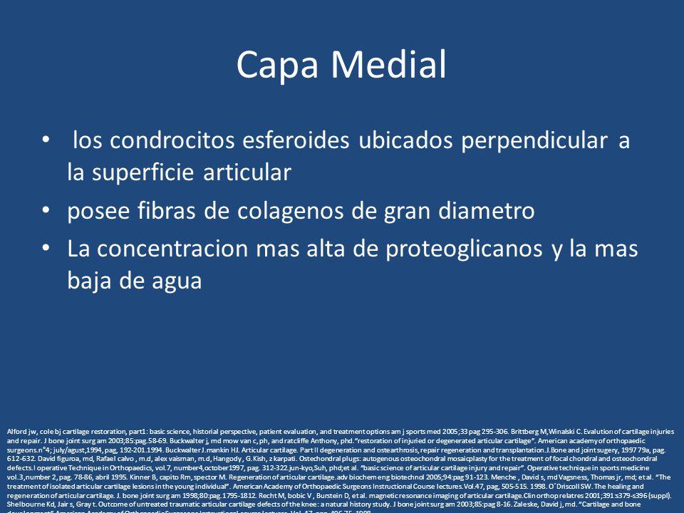 Capa Medial los condrocitos esferoides ubicados perpendicular a la superficie articular posee fibras de colagenos de gran diametro La concentracion ma
