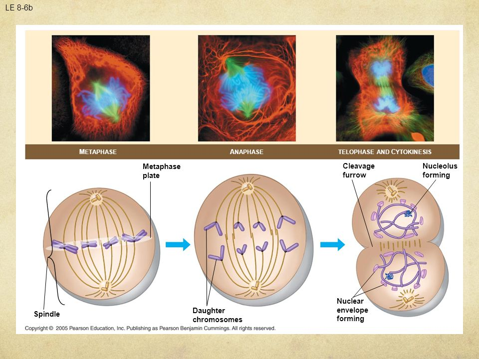 LE 8-6b M ETAPHASE A NAPHASETELOPHASE AND C YTOKINESIS Metaphase plate Spindle Daughter chromosomes Nuclear envelope forming Cleavage furrow Nucleolus