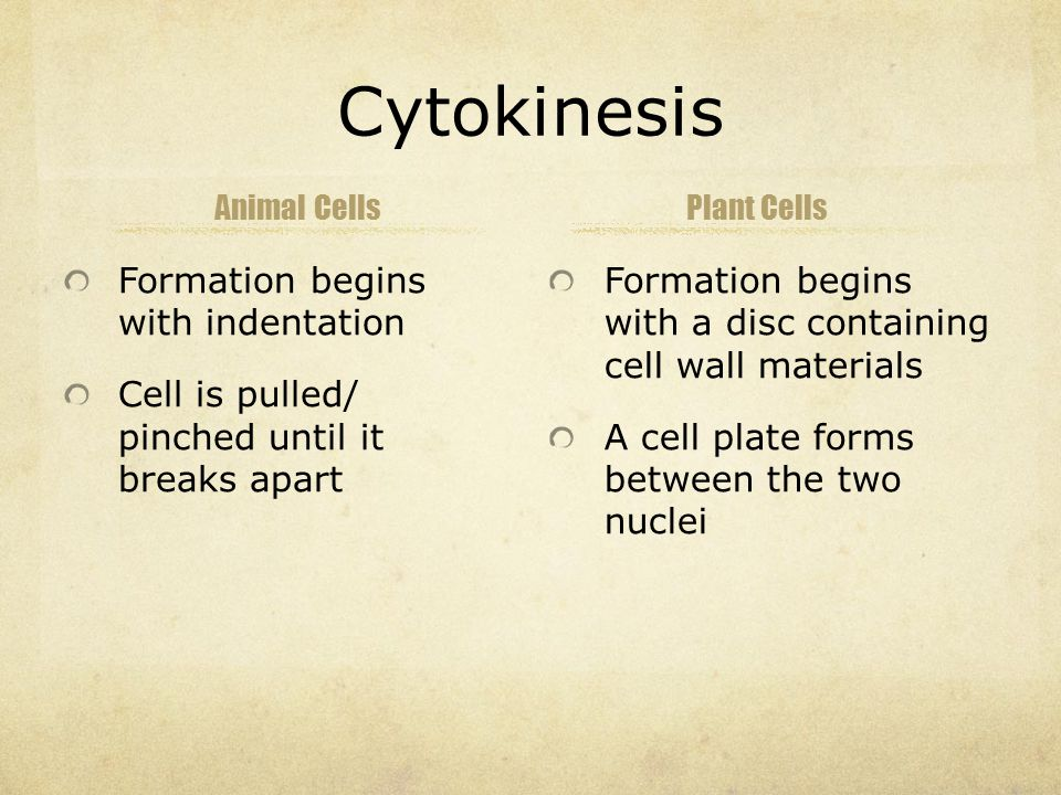 Cytokinesis Animal Cells Formation begins with indentation Cell is pulled/ pinched until it breaks apart Plant Cells Formation begins with a disc containing cell wall materials A cell plate forms between the two nuclei
