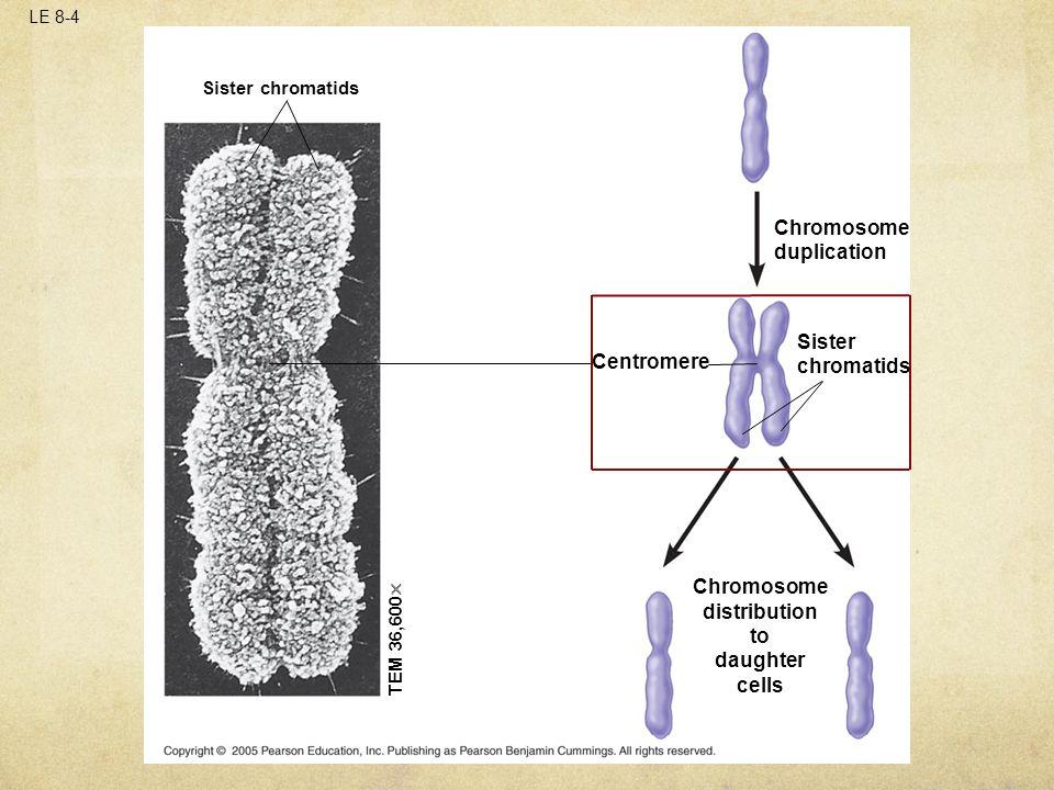 LE 8-4 Sister chromatids Centromere TEM 36,600  Sister chromatids Chromosome distribution to daughter cells Chromosome duplication