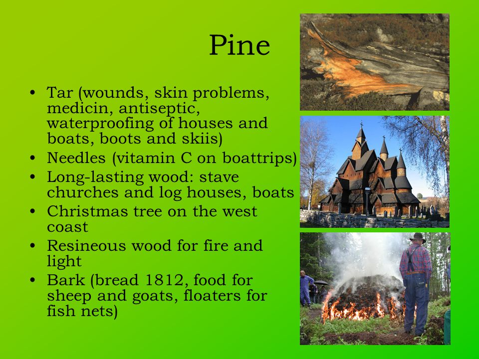 Pine Tar (wounds, skin problems, medicin, antiseptic, waterproofing of houses and boats, boots and skiis) Needles (vitamin C on boattrips) Long-lasting wood: stave churches and log houses, boats Christmas tree on the west coast Resineous wood for fire and light Bark (bread 1812, food for sheep and goats, floaters for fish nets)
