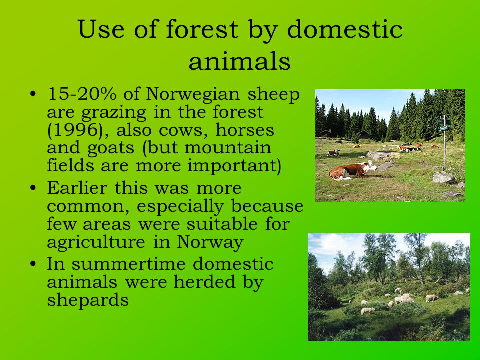 Use of forest by domestic animals 15-20% of Norwegian sheep are grazing in the forest (1996), also cows, horses and goats (but mountain fields are more important) Earlier this was more common, especially because few areas were suitable for agriculture in Norway In summertime domestic animals were herded by shepards