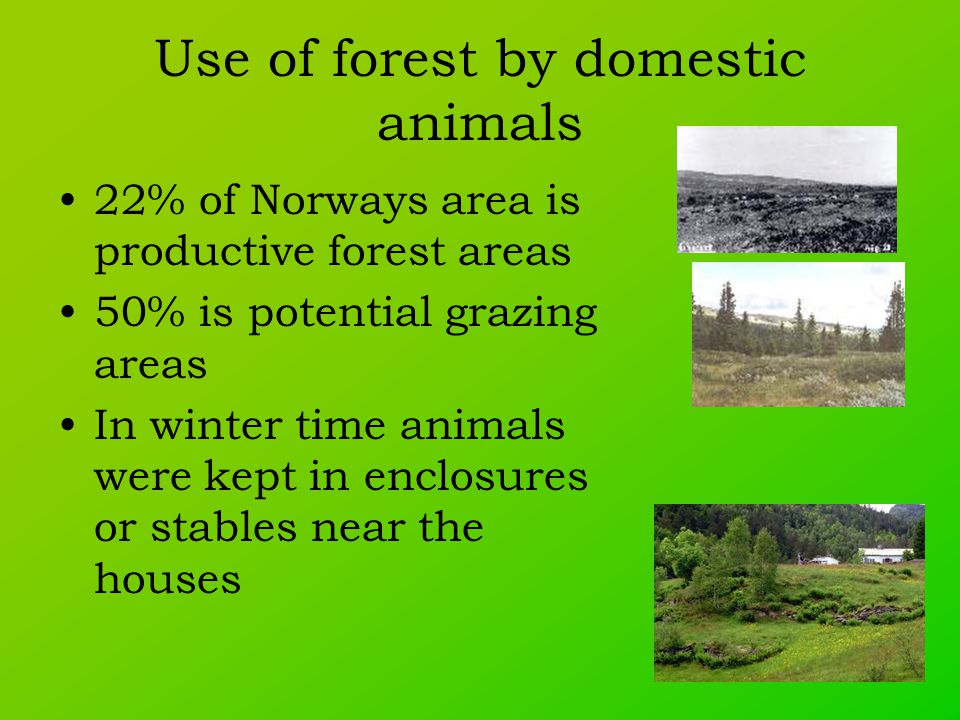 Use of forest by domestic animals 22% of Norways area is productive forest areas 50% is potential grazing areas In winter time animals were kept in enclosures or stables near the houses