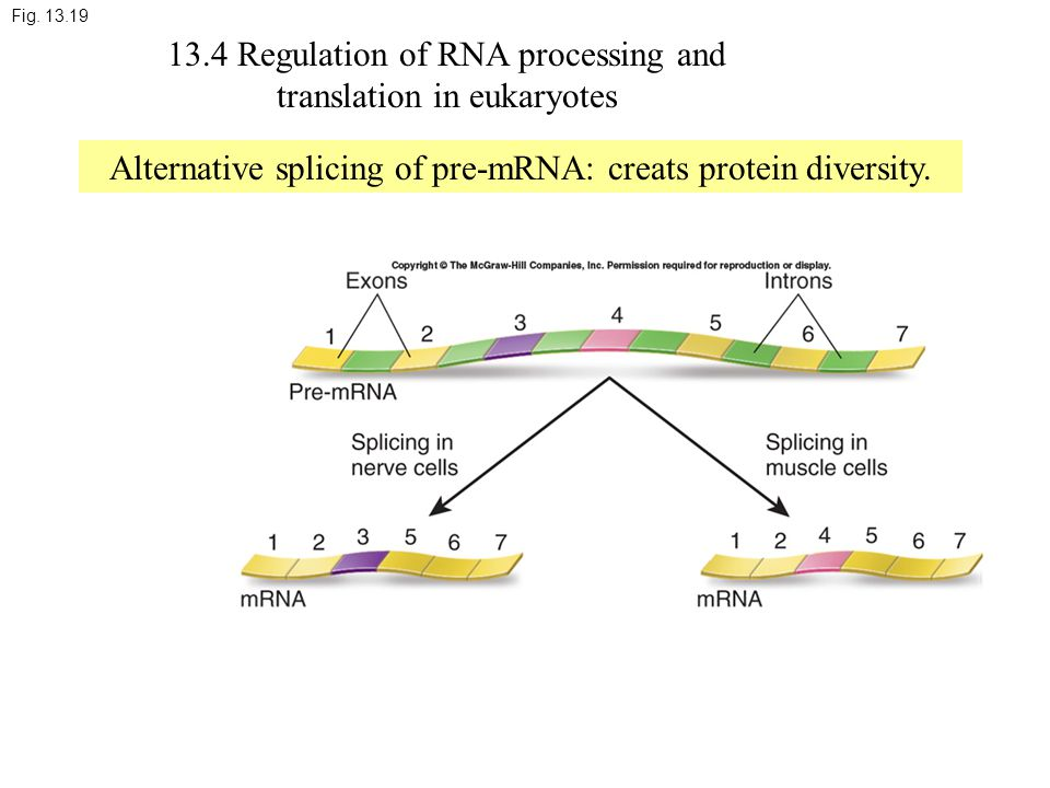 Fig. 13.19 13.4 Regulation of RNA processing and translation in eukaryotes Alternative splicing of pre-mRNA: creats protein diversity.