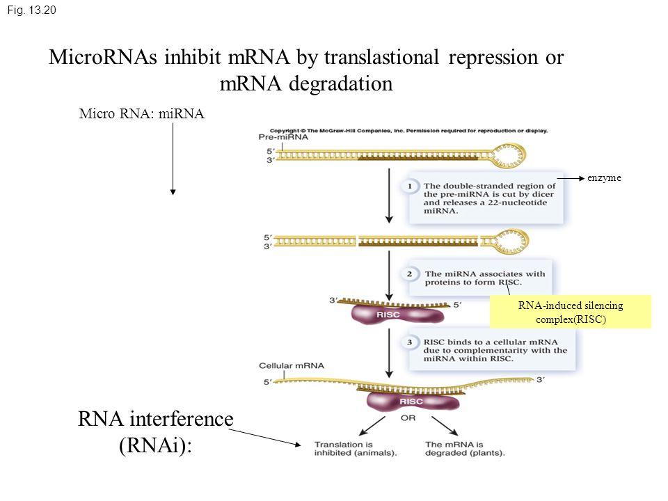 Fig. 13.20 MicroRNAs inhibit mRNA by translastional repression or mRNA degradation Micro RNA: miRNA enzyme RNA-induced silencing complex(RISC) RNA int