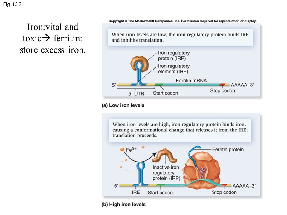 Fig. 13.21 Iron:vital and toxic  ferritin: store excess iron.