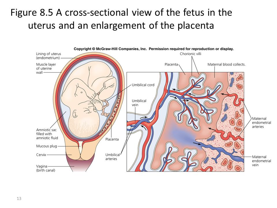 13 Figure 8.5 A cross-sectional view of the fetus in the uterus and an enlargement of the placenta