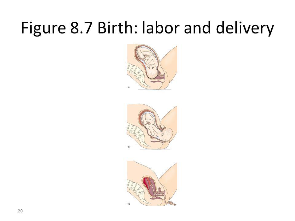 20 Figure 8.7 Birth: labor and delivery