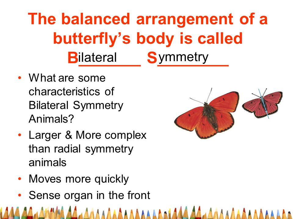 The balanced arrangement of a butterfly's body is called B_______ S________ ymmetry ilateral What are some characteristics of Bilateral Symmetry Animals.