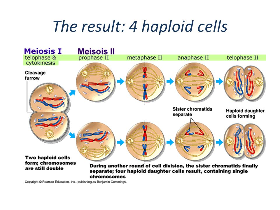 The result: 4 haploid cells