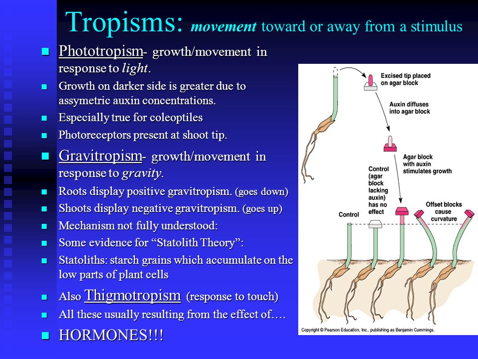 Tropisms: movement toward or away from a stimulus n Phototropism - growth/movement in response to light.