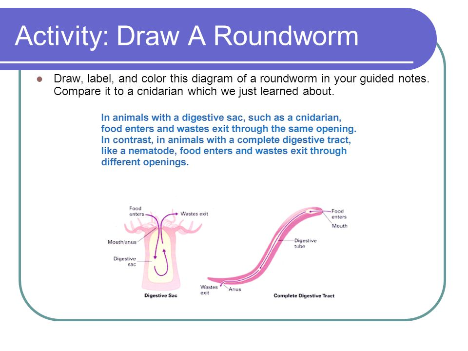 Activity: Draw A Roundworm Draw, label, and color this diagram of a roundworm in your guided notes. Compare it to a cnidarian which we just learned ab