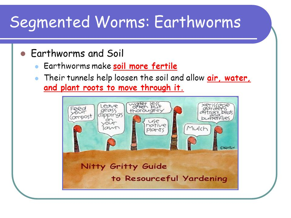 Segmented Worms: Earthworms Earthworms and Soil Earthworms make soil more fertile Their tunnels help loosen the soil and allow air, water, and plant r