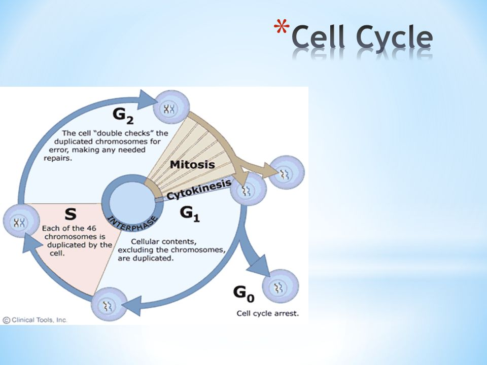 1) Interphase: 3 steps that will prepare the cell for cell division a) G 1 phase: Growth of cell b) S phase: DNA Replicated c) G 2 phase: Growth of cell d) G 0 phase: Dormant