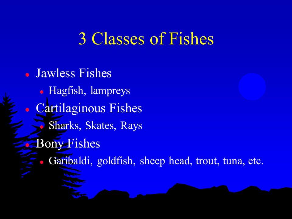 3 Classes of Fishes l Jawless Fishes l Hagfish, lampreys l Cartilaginous Fishes l Sharks, Skates, Rays l Bony Fishes l Garibaldi, goldfish, sheep head, trout, tuna, etc.