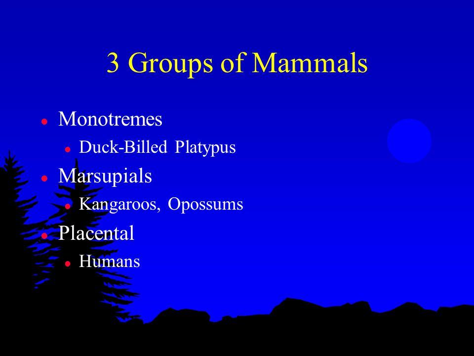 3 Groups of Mammals l Monotremes l Duck-Billed Platypus l Marsupials l Kangaroos, Opossums l Placental l Humans