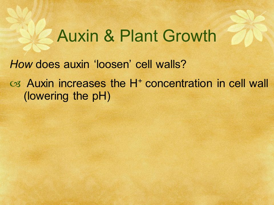 Auxin & Plant Growth How does auxin 'loosen' cell walls?  Auxin increases the H + concentration in cell wall (lowering the pH)