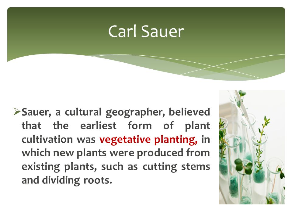  Sauer, a cultural geographer, believed that the earliest form of plant cultivation was vegetative planting, in which new plants were produced from existing plants, such as cutting stems and dividing roots.