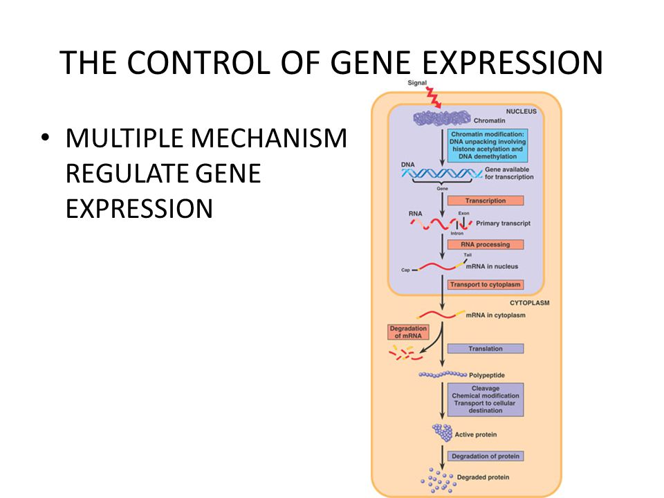 THE CONTROL OF GENE EXPRESSION MULTIPLE MECHANISM REGULATE GENE EXPRESSION