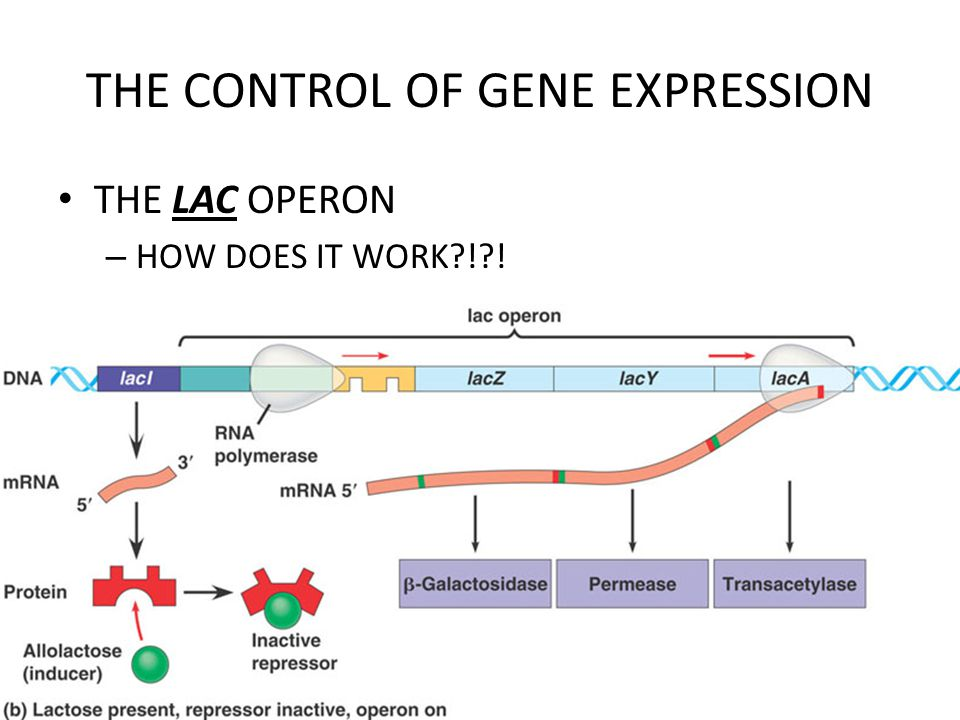 THE CONTROL OF GENE EXPRESSION THE LAC OPERON – HOW DOES IT WORK ! !