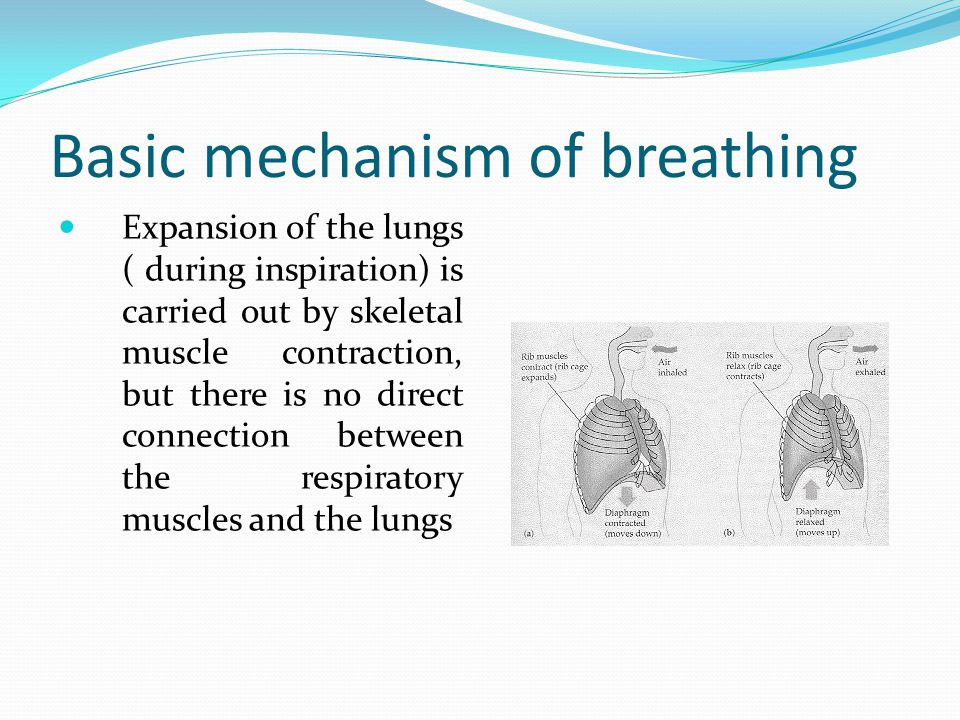 Basic mechanism of breathing Expansion of the lungs ( during inspiration) is carried out by skeletal muscle contraction, but there is no direct connection between the respiratory muscles and the lungs