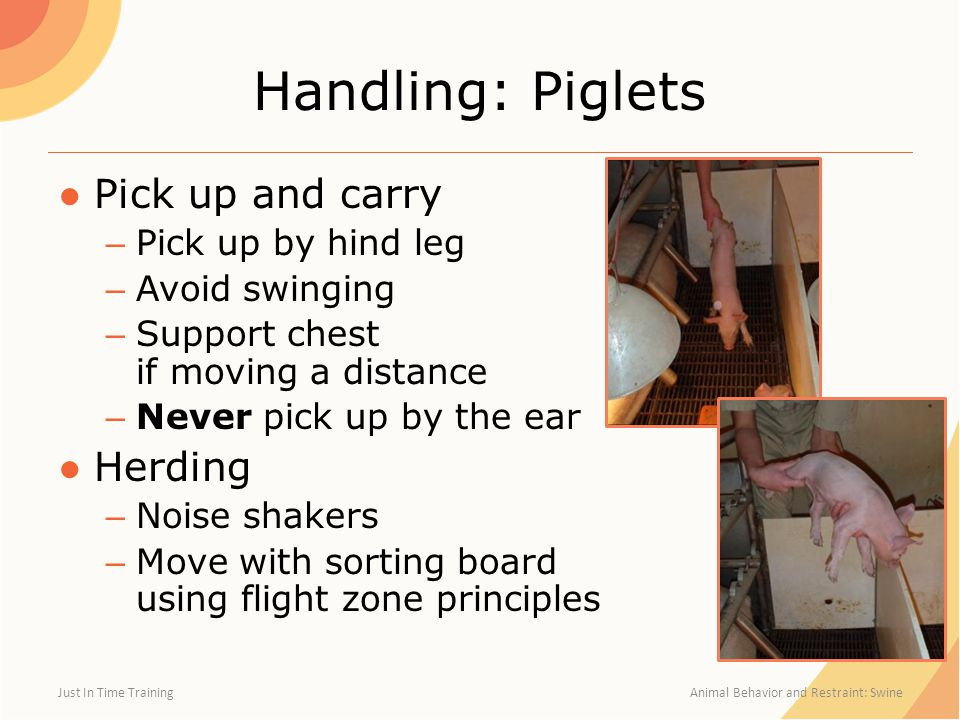 Handling: Piglets ●Pick up and carry – Pick up by hind leg – Avoid swinging – Support chest if moving a distance – Never pick up by the ear ●Herding – Noise shakers – Move with sorting board using flight zone principles Just In Time Training Animal Behavior and Restraint: Swine