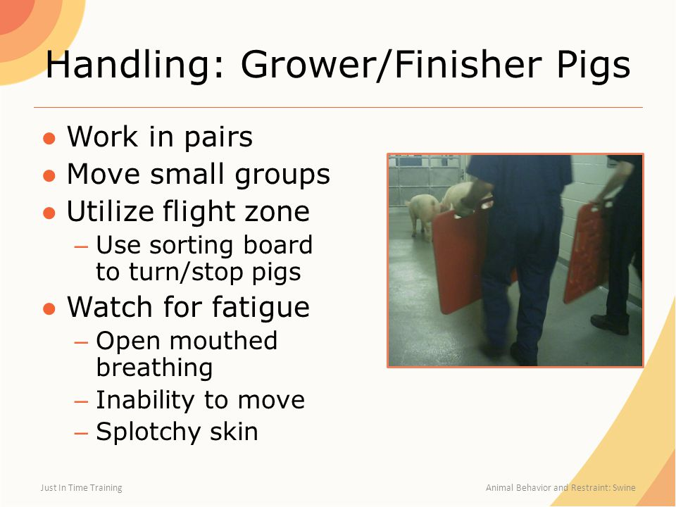 Handling: Grower/Finisher Pigs ●Work in pairs ●Move small groups ●Utilize flight zone – Use sorting board to turn/stop pigs ●Watch for fatigue – Open mouthed breathing – Inability to move – Splotchy skin Just In Time Training Animal Behavior and Restraint: Swine