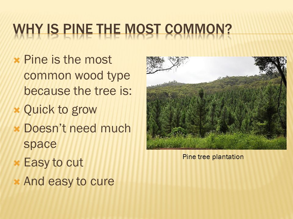  Pine is the most common wood type because the tree is:  Quick to grow  Doesn't need much space  Easy to cut  And easy to cure Pine tree plantation