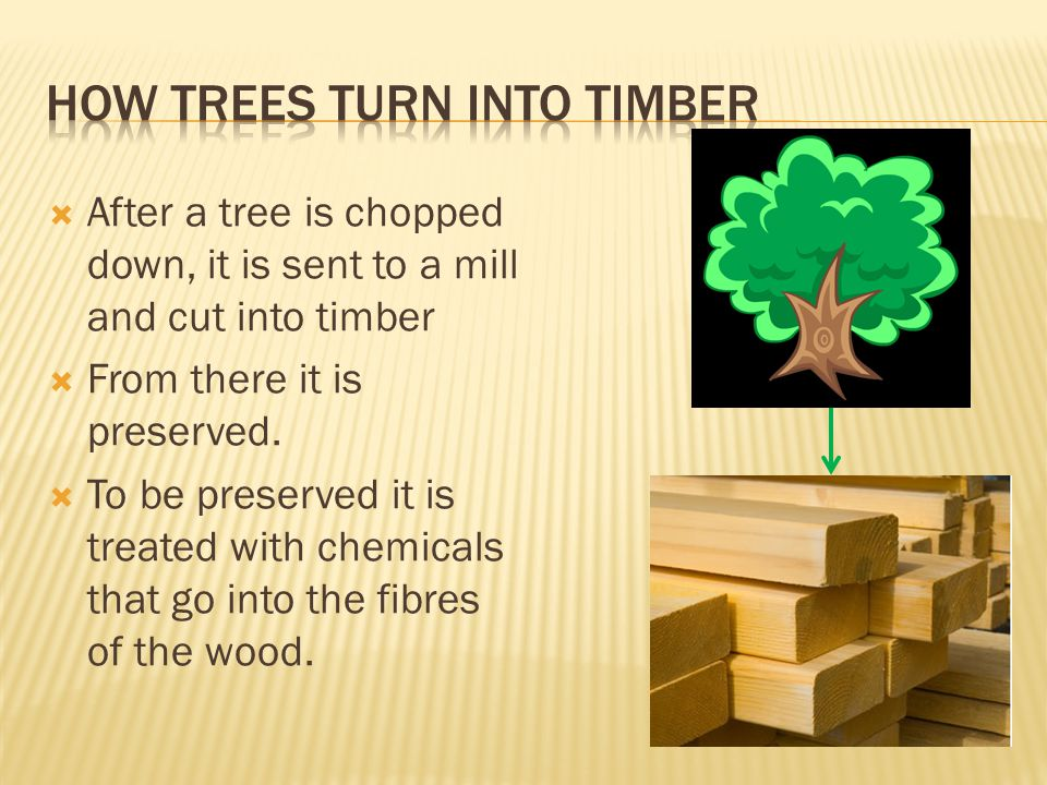  After a tree is chopped down, it is sent to a mill and cut into timber  From there it is preserved.