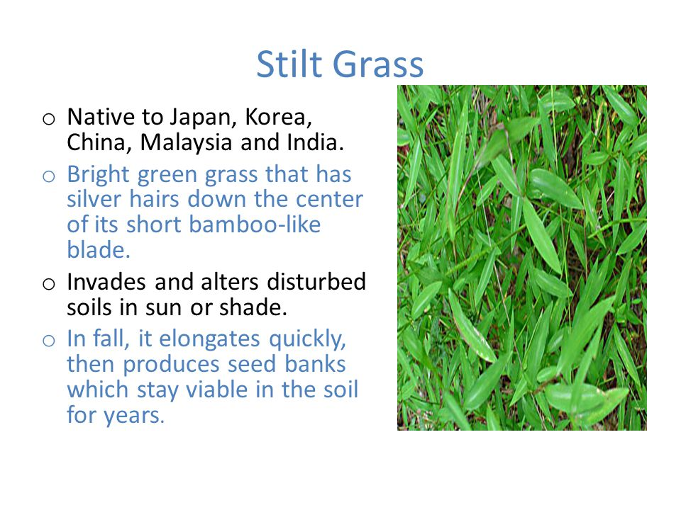 Stilt Grass o Native to Japan, Korea, China, Malaysia and India.