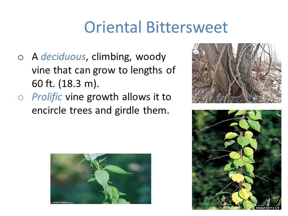 Oriental Bittersweet o A deciduous, climbing, woody vine that can grow to lengths of 60 ft.