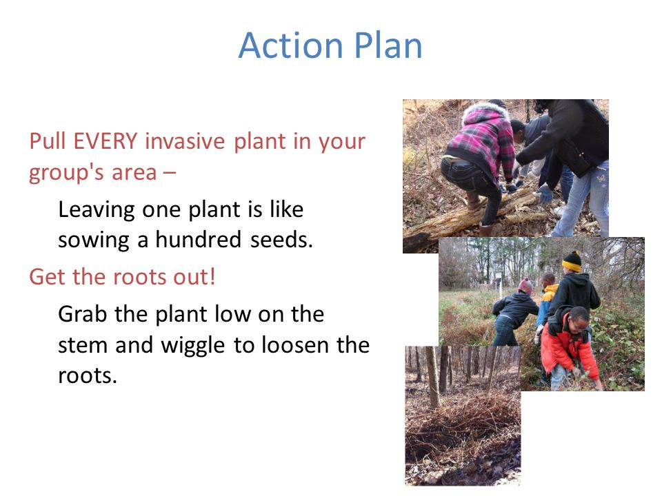 Action Plan Pull EVERY invasive plant in your group s area – Leaving one plant is like sowing a hundred seeds.