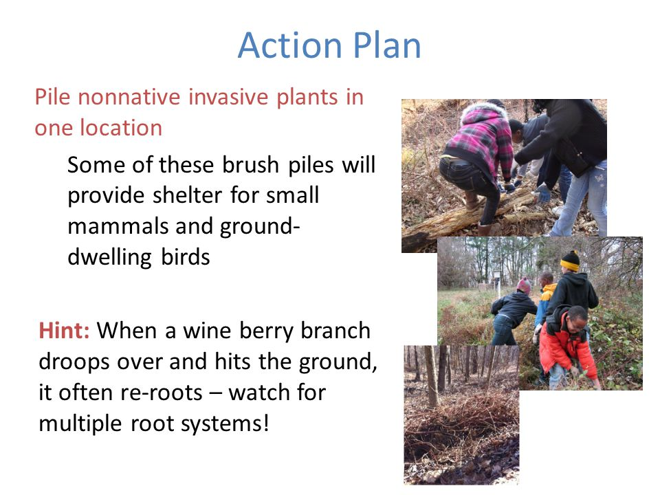 Action Plan Pile nonnative invasive plants in one location Some of these brush piles will provide shelter for small mammals and ground- dwelling birds Hint: When a wine berry branch droops over and hits the ground, it often re-roots – watch for multiple root systems!