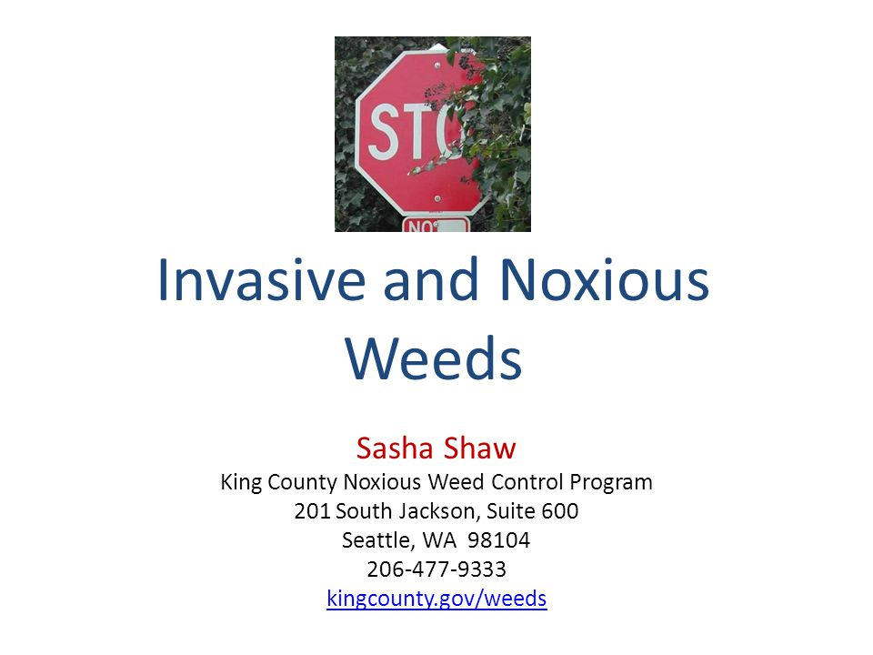 Poison Hemlock (Conium maculatum) Poisonous 8 to 10 feet tall, stems purple-spotted Dig up plants when soil is moist Cut flowering stems below crown before seeds mature – Wear gloves and mow with a face mask