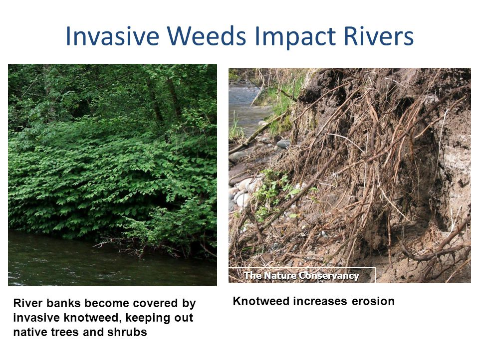Invasive Weeds Impact Rivers River banks become covered by invasive knotweed, keeping out native trees and shrubs The Nature Conservancy Knotweed incr