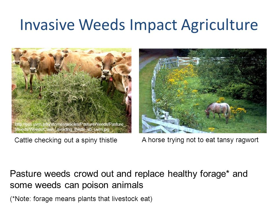 Invasive Weeds Impact Agriculture Pasture weeds crowd out and replace healthy forage* and some weeds can poison animals (*Note: forage means plants th