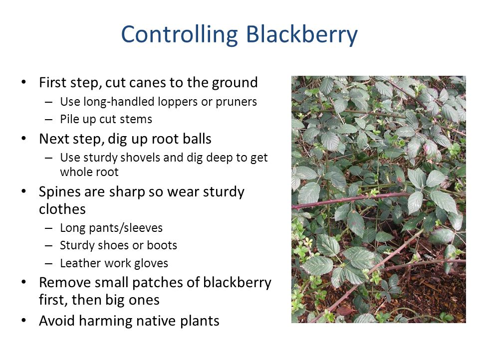 Controlling Blackberry First step, cut canes to the ground – Use long-handled loppers or pruners – Pile up cut stems Next step, dig up root balls – Us