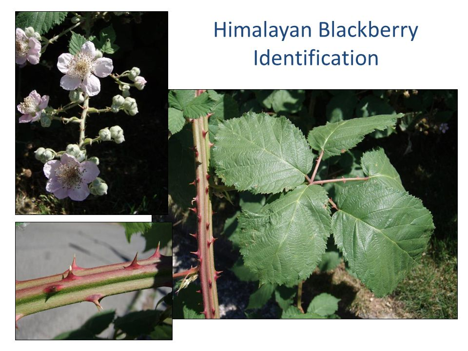 Himalayan Blackberry Identification